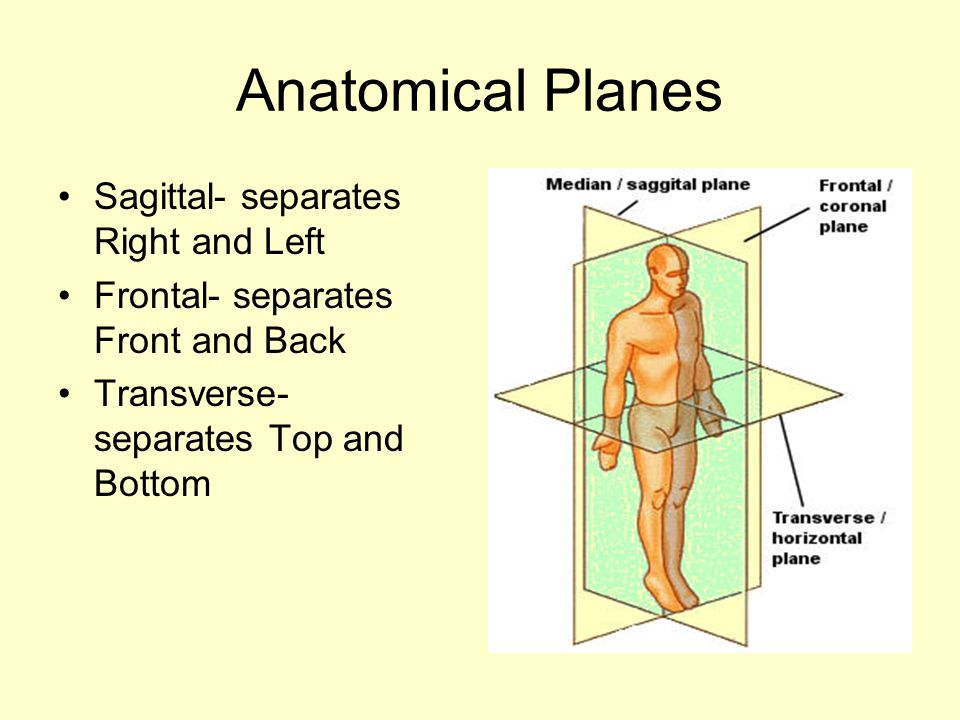 Anatomical Planes Sagittal- separates Right and Left Frontal- separates Front and Back Transverse- separates Top and Bottom