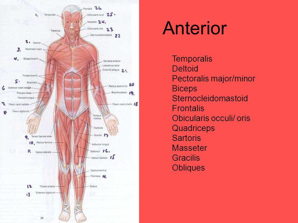 Anterior Temporalis Deltoid Pectoralis major/minor Biceps Sternocleidomastoid Frontalis Obicularis occuli/ oris Quadriceps Sartoris Masseter Gracilis Obliques