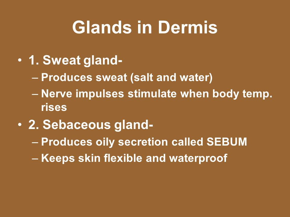 Glands in Dermis 1. Sweat gland- –Produces sweat (salt and water) –Nerve impulses stimulate when body temp. rises 2. Sebaceous gland- –Produces oily s