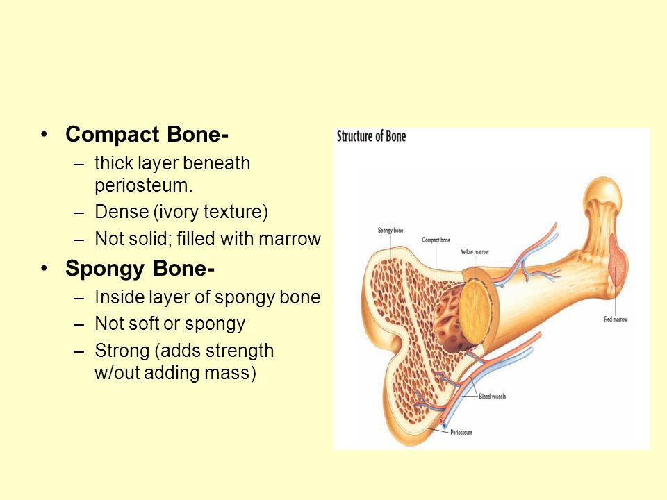 Compact Bone- –thick layer beneath periosteum. –Dense (ivory texture) –Not solid; filled with marrow Spongy Bone- –Inside layer of spongy bone –Not so