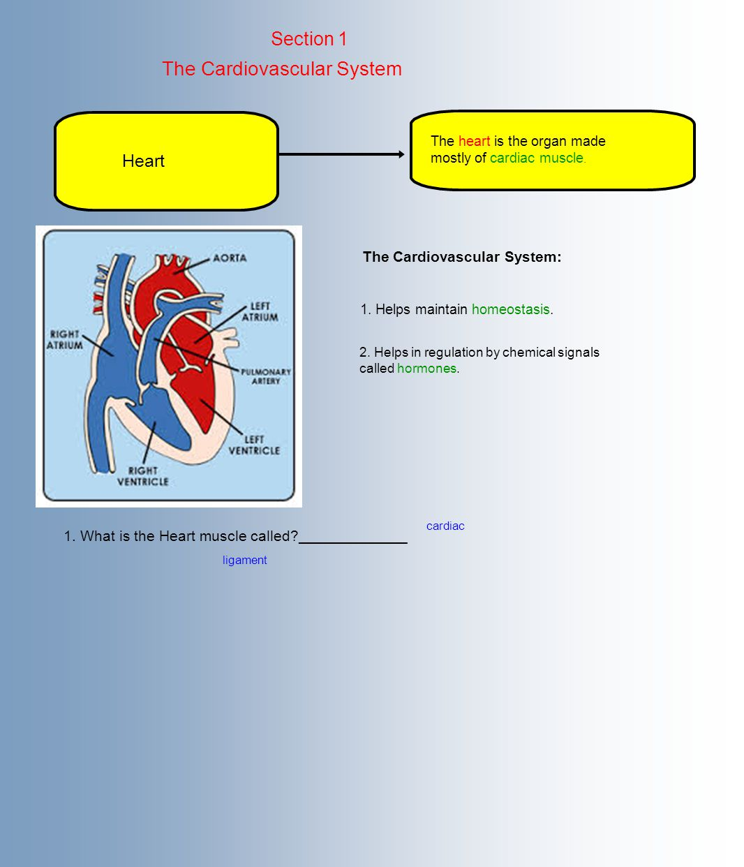 Section 1 The Cardiovascular System Heart The heart is the organ made mostly of cardiac muscle.