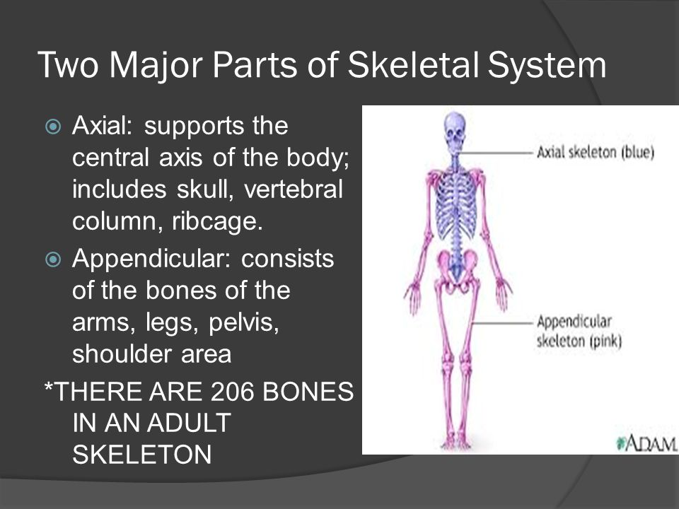 Two Major Parts of Skeletal System  Axial: supports the central axis of the body; includes skull, vertebral column, ribcage.  Appendicular: consists
