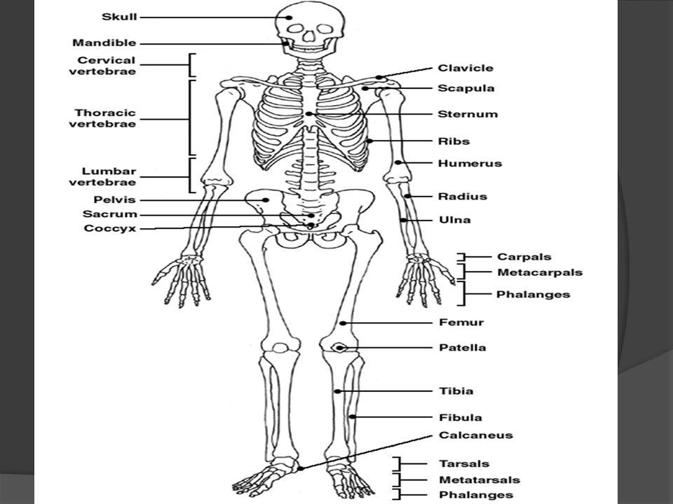 Appendicular Skeleton Labeling