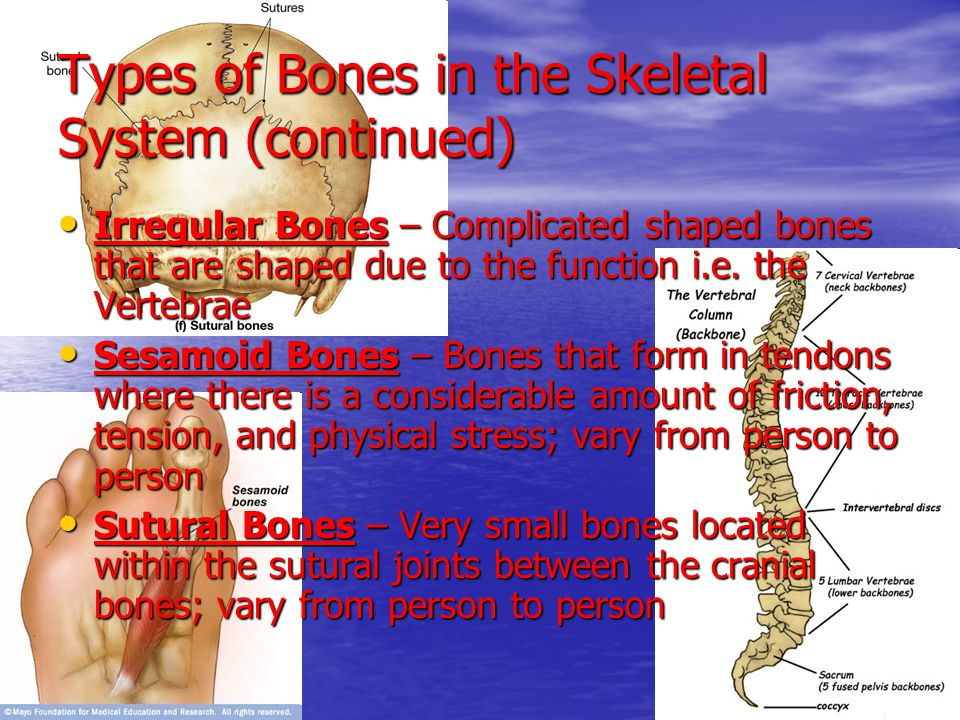 Types of Bones in the Skeletal System (continued) Irregular Bones – Complicated shaped bones that are shaped due to the function i.e. the Vertebrae Ir