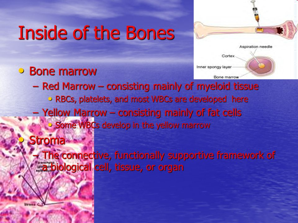 Inside of the Bones Bone marrow Bone marrow –Red Marrow – consisting mainly of myeloid tissue RBCs, platelets, and most WBCs are developed here RBCs,