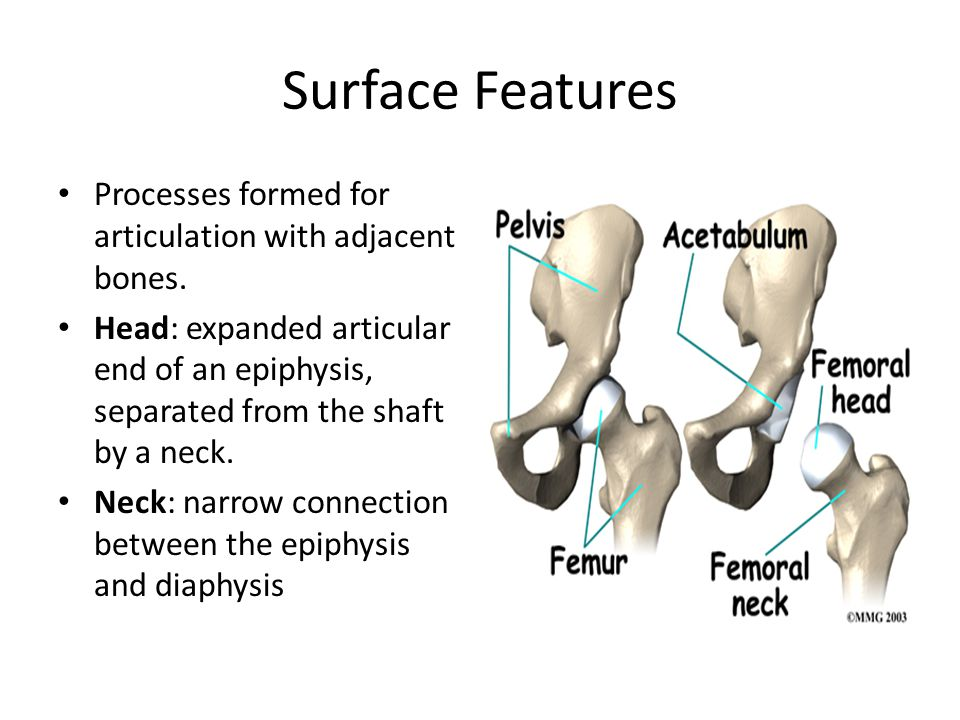Surface Features Processes formed for articulation with adjacent bones. Head: expanded articular end of an epiphysis, separated from the shaft by a ne