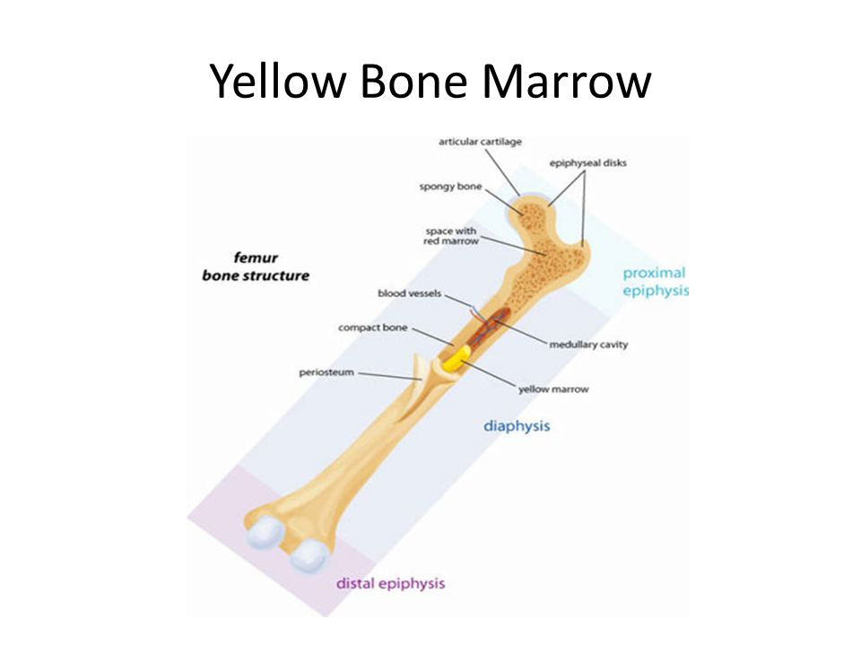 Yellow Bone Marrow