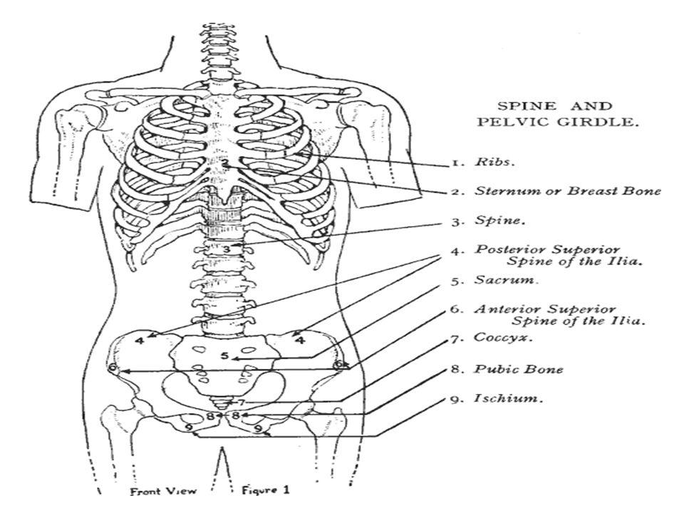 Short Bones Short bones are small and boxy.