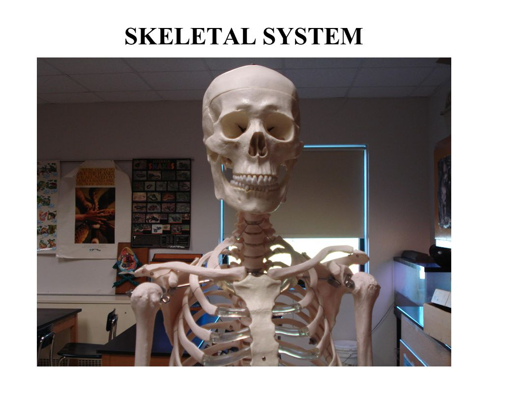 Functions of the Skeletal System Bones are made of OSSEOUS TISSUE Support and Protection Body movement Blood cell formation (bone marrow) - hematopoeisis Storage of inorganic materials (salt, calcium, potassium….)