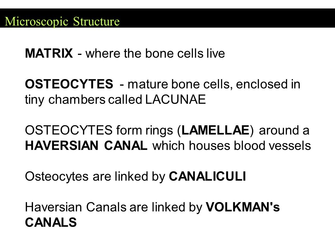 Microscopic Structure MATRIX - where the bone cells live OSTEOCYTES - mature bone cells, enclosed in tiny chambers called LACUNAE OSTEOCYTES form ring