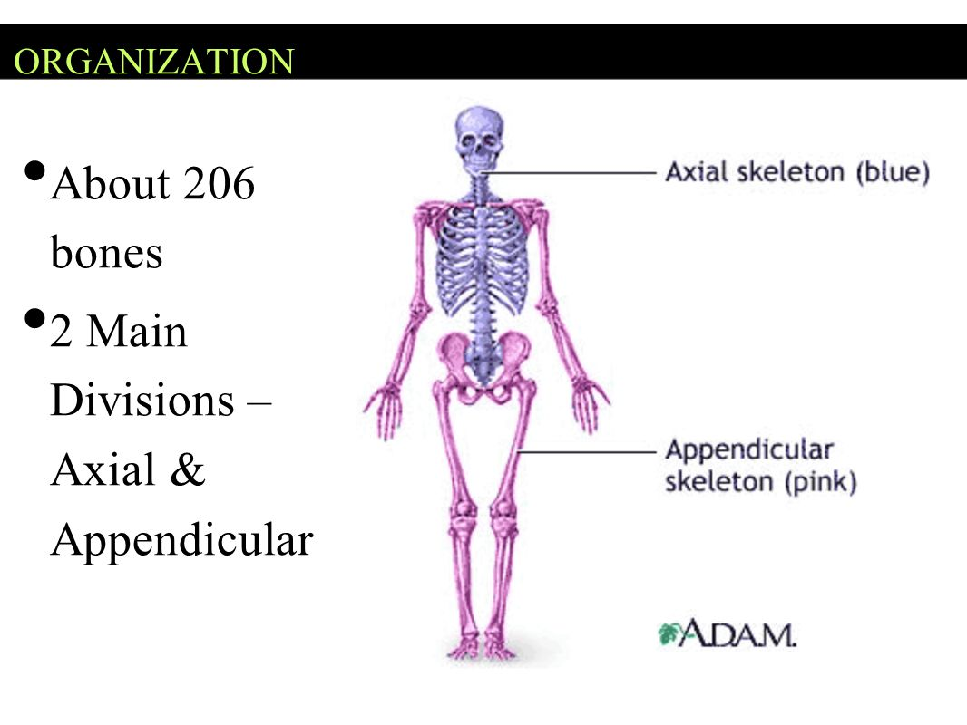 ORGANIZATION About 206 bones 2 Main Divisions – Axial & Appendicular