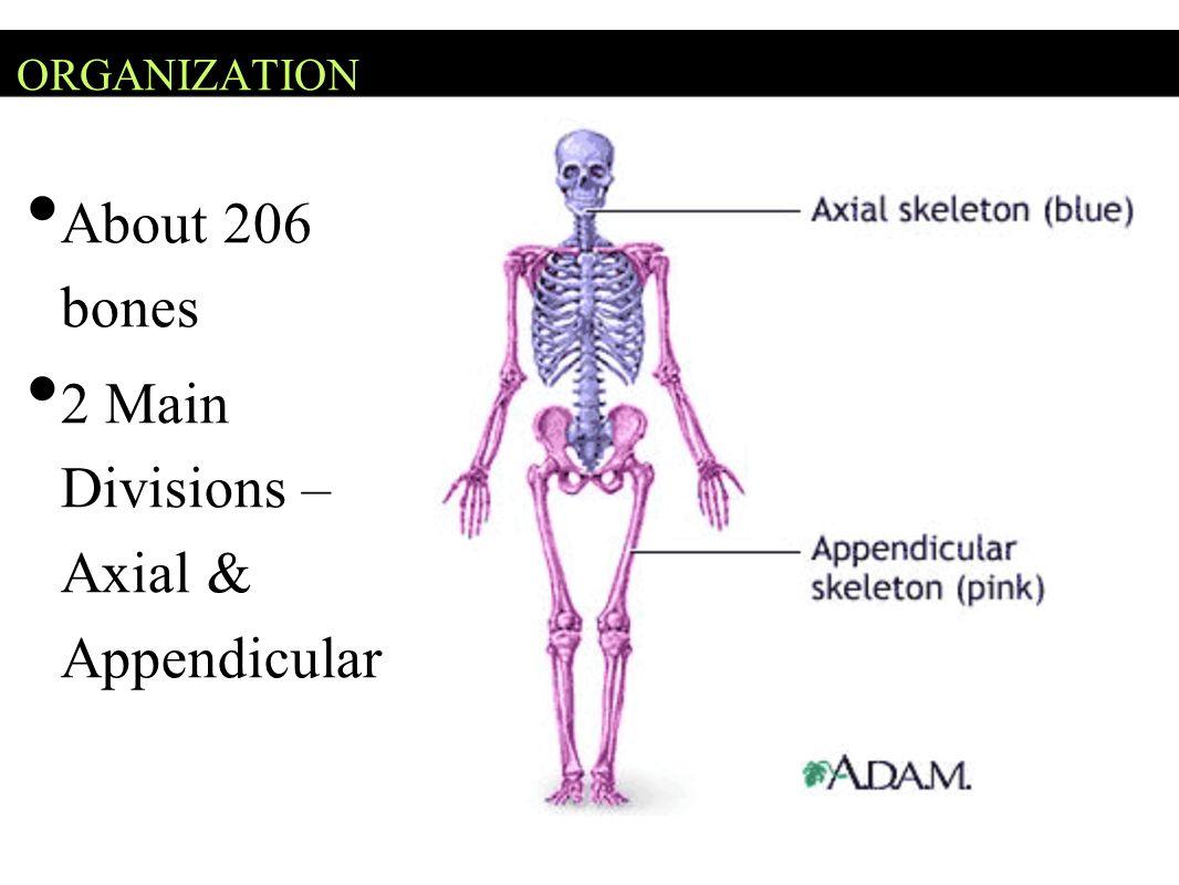 Axial Skeleton Head, neck, trunk Skull Hyoid Bone Vertebral Column Thoracic Cage (ribs, 12 pairs) Sternum