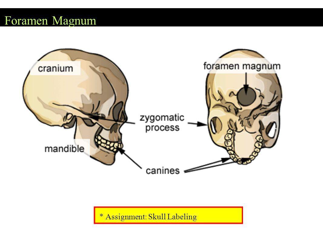 Foramen Magnum * Assignment: Skull Labeling
