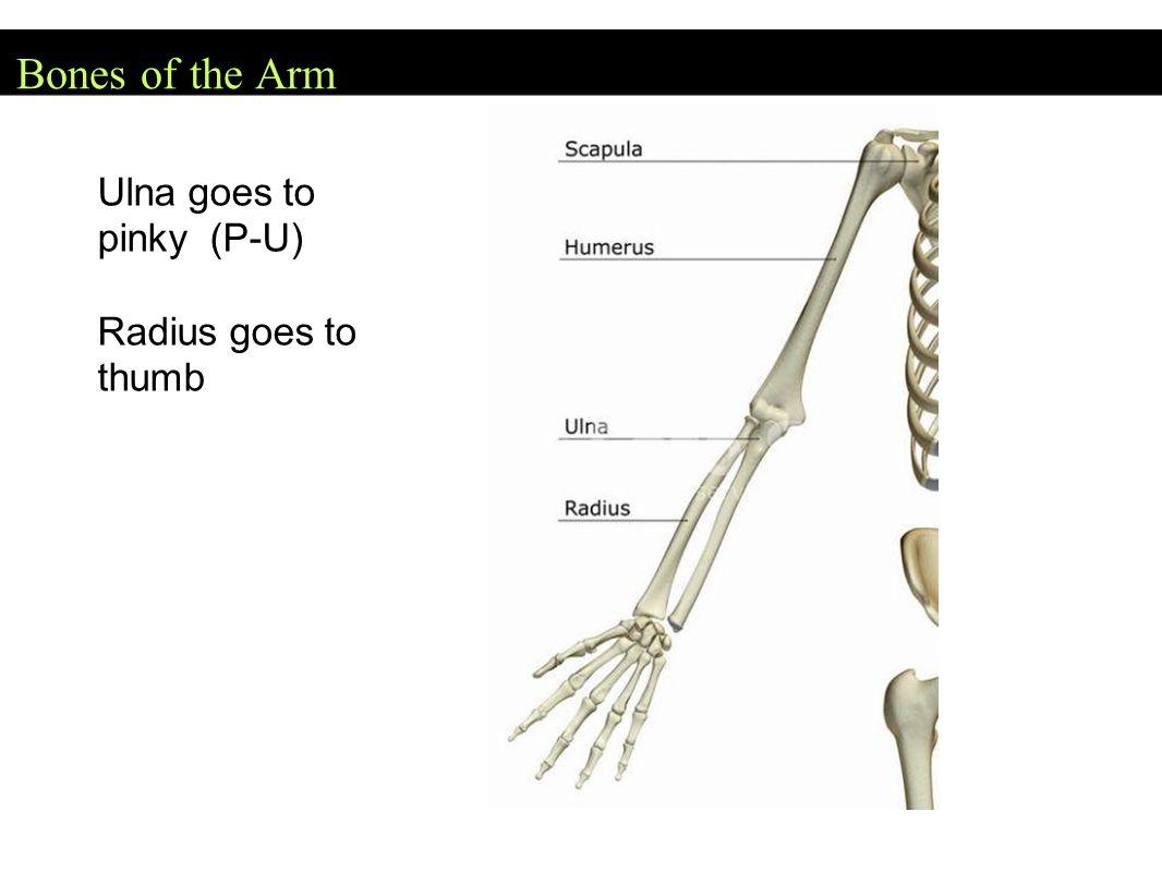 Bones of the Arm Ulna goes to pinky (P-U) Radius goes to thumb