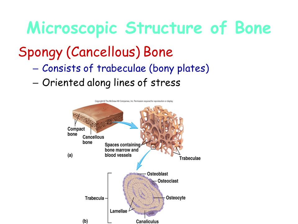 Microscopic Structure of Bone Spongy (Cancellous) Bone – Consists of trabeculae (bony plates) – Oriented along lines of stress