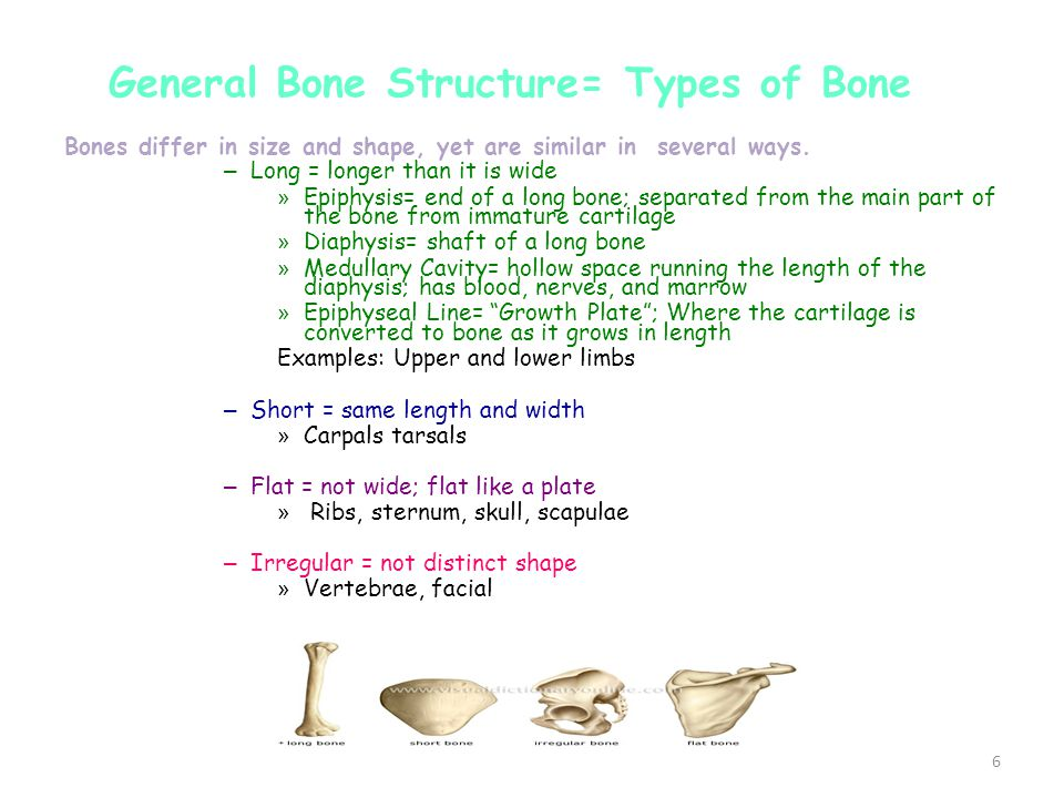 6 Bones differ in size and shape, yet are similar in several ways.