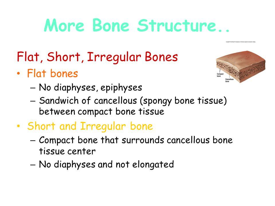 Flat, Short, Irregular Bones Flat bones – No diaphyses, epiphyses – Sandwich of cancellous (spongy bone tissue) between compact bone tissue Short and