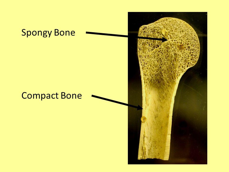 Spongy Bone Compact Bone