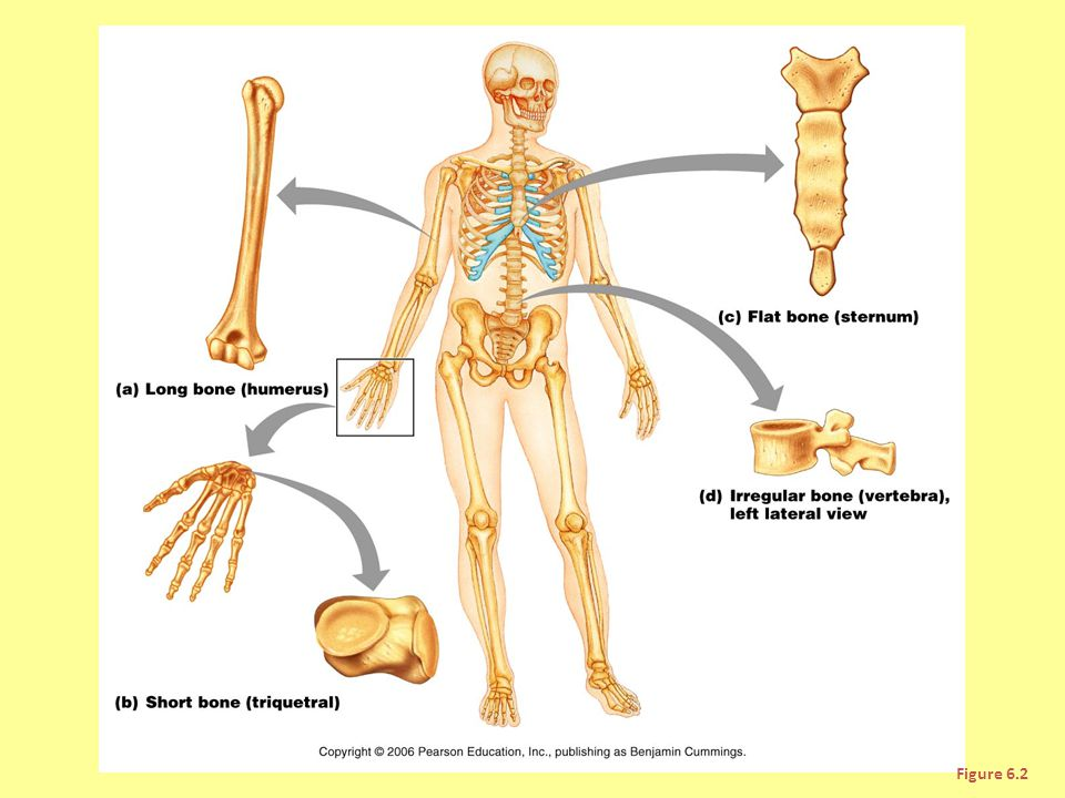 Sesamoid bones in area of big toe
