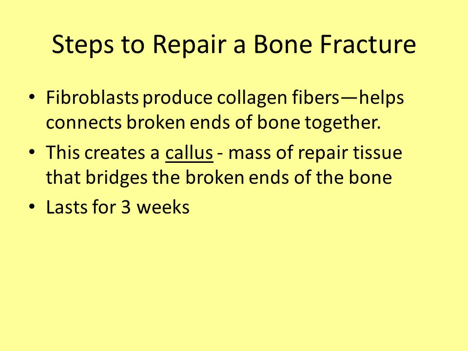 Fibroblasts produce collagen fibers—helps connects broken ends of bone together.