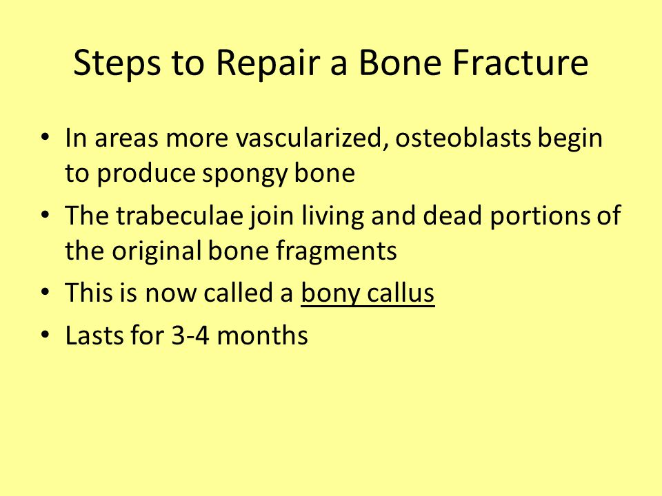 In areas more vascularized, osteoblasts begin to produce spongy bone The trabeculae join living and dead portions of the original bone fragments This is now called a bony callus Lasts for 3-4 months Steps to Repair a Bone Fracture