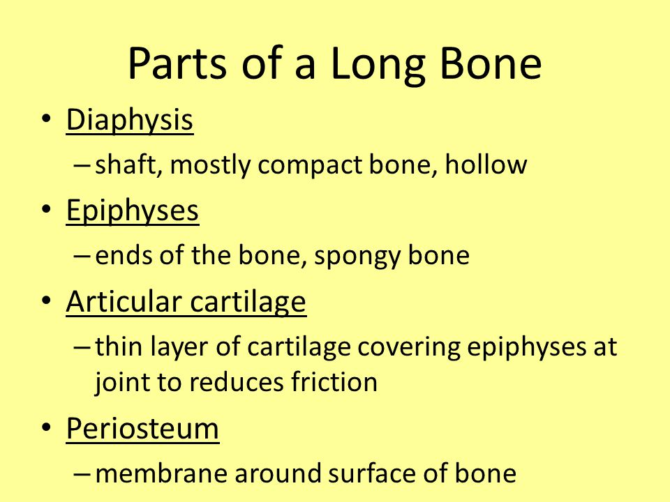 Parts of a Long Bone Diaphysis – shaft, mostly compact bone, hollow Epiphyses – ends of the bone, spongy bone Articular cartilage – thin layer of cartilage covering epiphyses at joint to reduces friction Periosteum – membrane around surface of bone