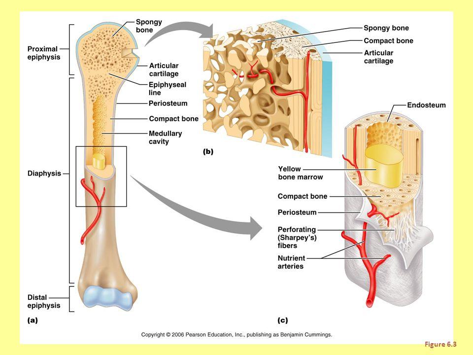 Parts of Periosteum