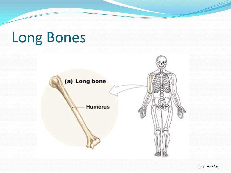 Long Bones Figure 6–1a 10