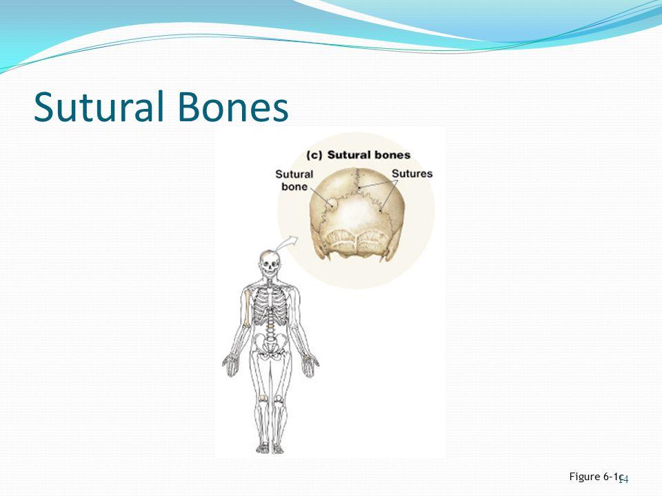Sutural Bones Figure 6–1c 14