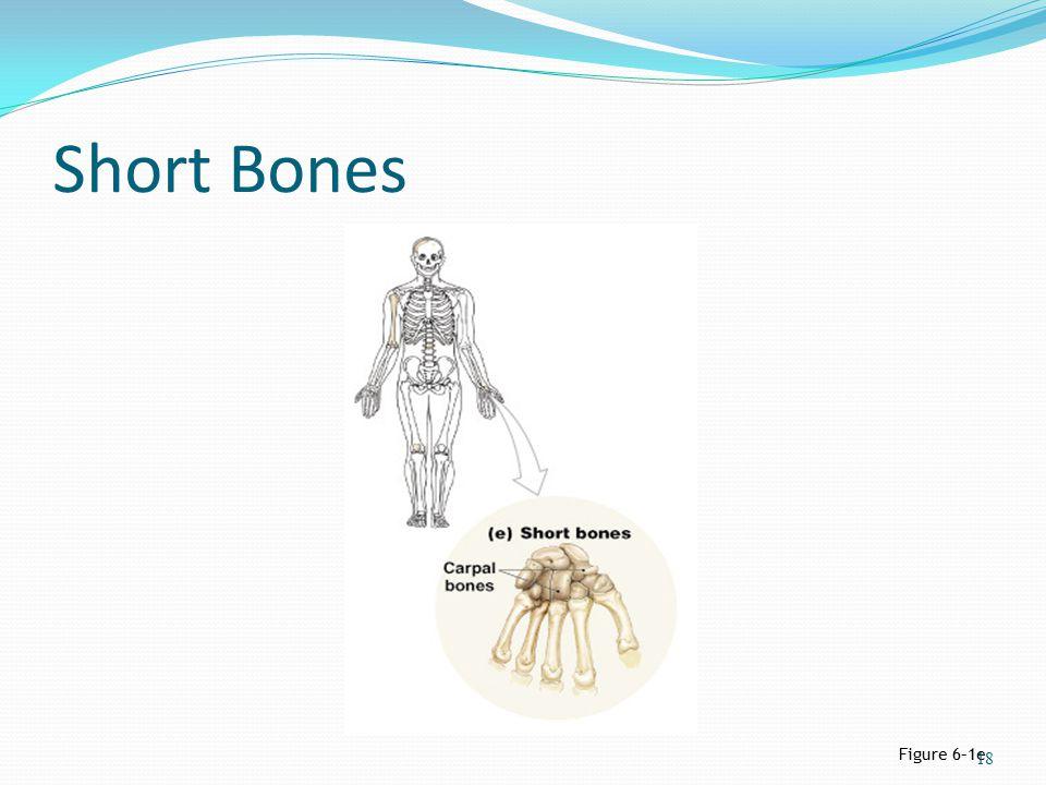 Short Bones Figure 6–1e 18