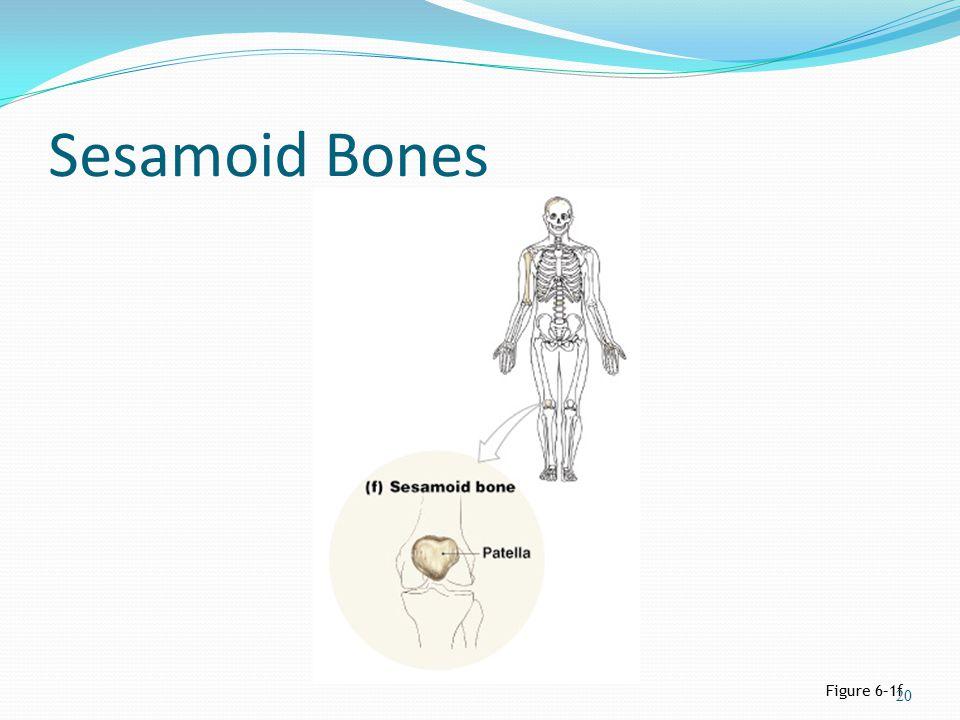 Sesamoid Bones Figure 6–1f 20