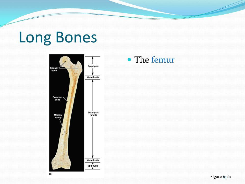 Long Bones The femur Figure 6–2a 25