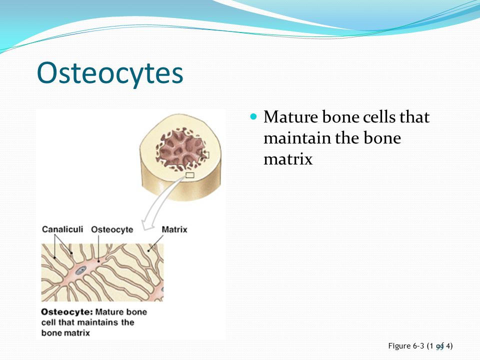 Osteocytes Mature bone cells that maintain the bone matrix Figure 6–3 (1 of 4) 39