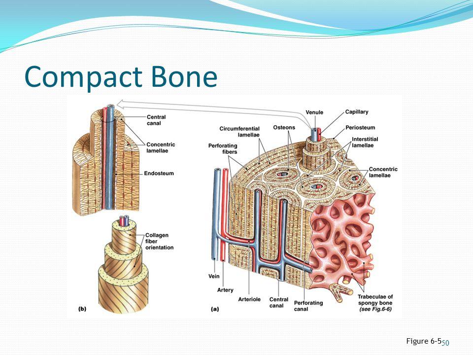 Compact Bone Figure 6–5 50