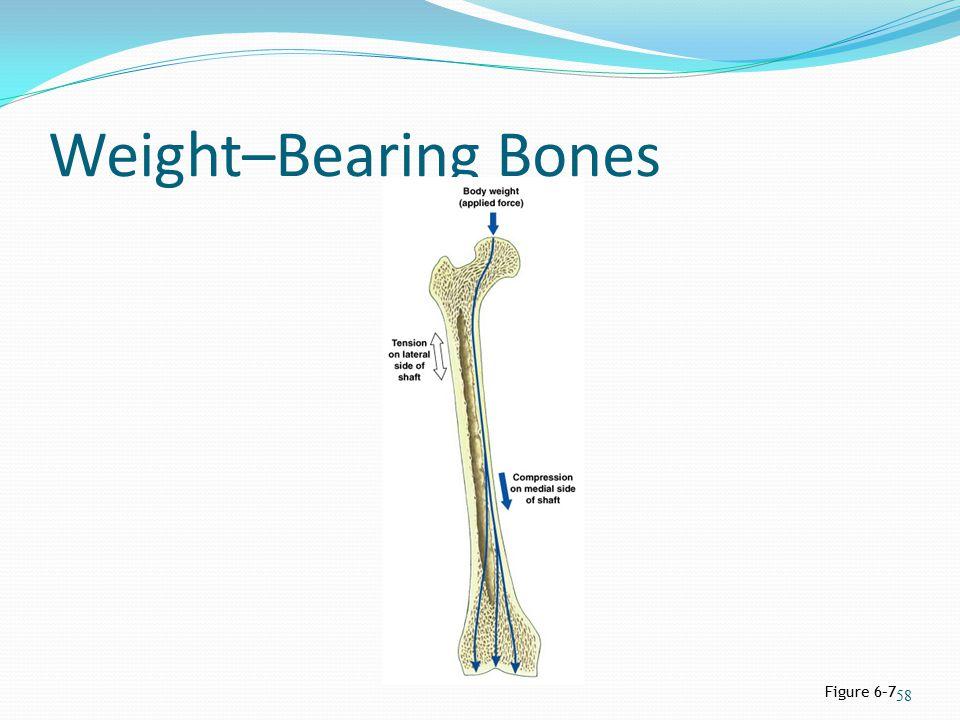 Weight–Bearing Bones Figure 6–7 58