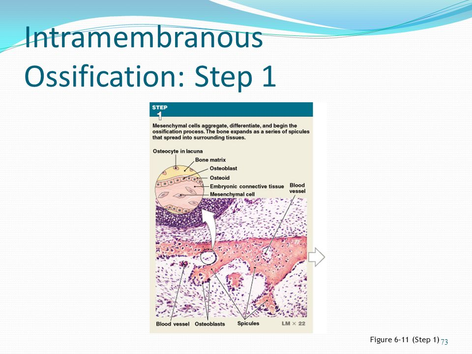 Intramembranous Ossification: Step 1 Figure 6–11 (Step 1) 73