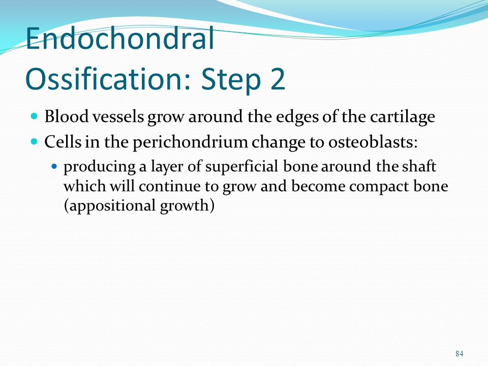 Endochondral Ossification: Step 2 Blood vessels grow around the edges of the cartilage Cells in the perichondrium change to osteoblasts: producing a l