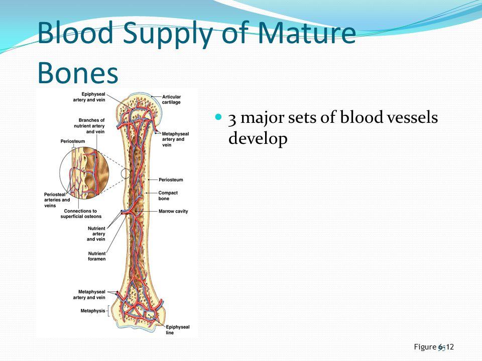Blood Supply of Mature Bones 3 major sets of blood vessels develop Figure 6–12 95