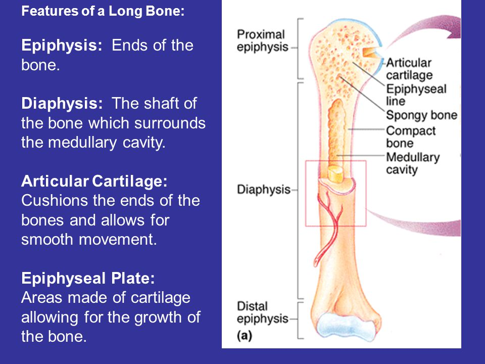 Features of a Long Bone: Epiphysis: Ends of the bone.