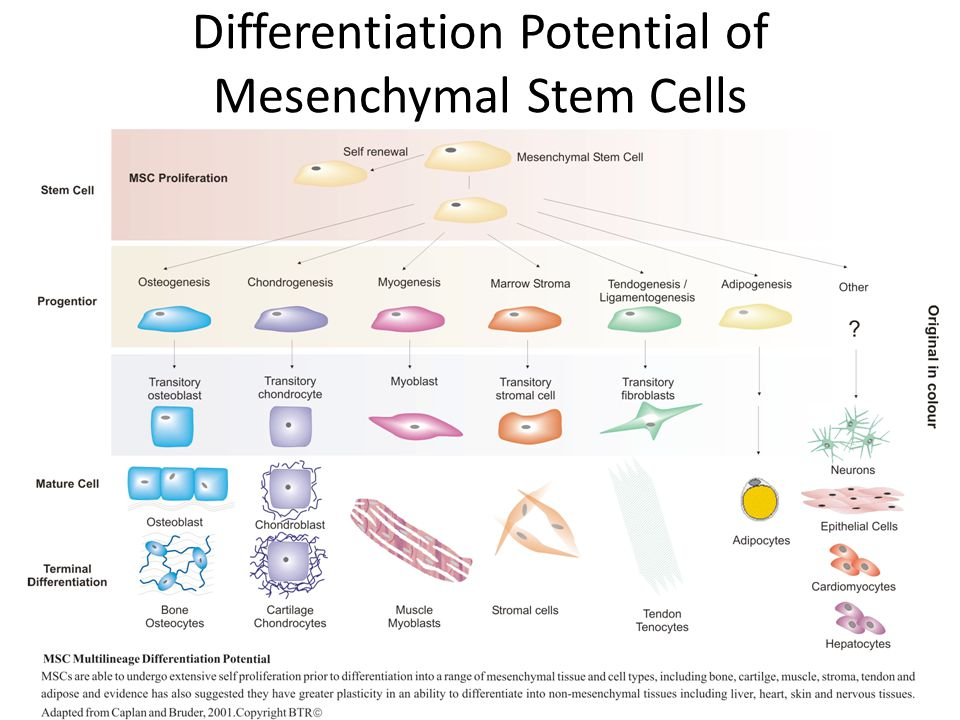 Differentiation Potential of Mesenchymal Stem Cells