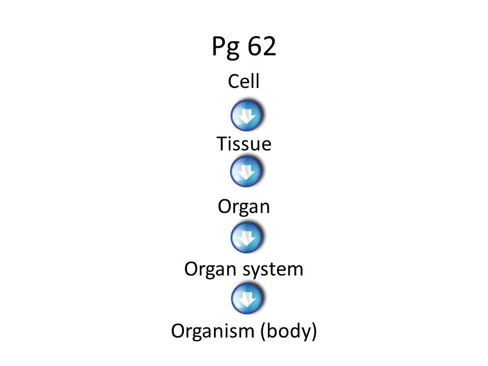 Pg 62 Cell Tissue Organ Organ system Organism (body)