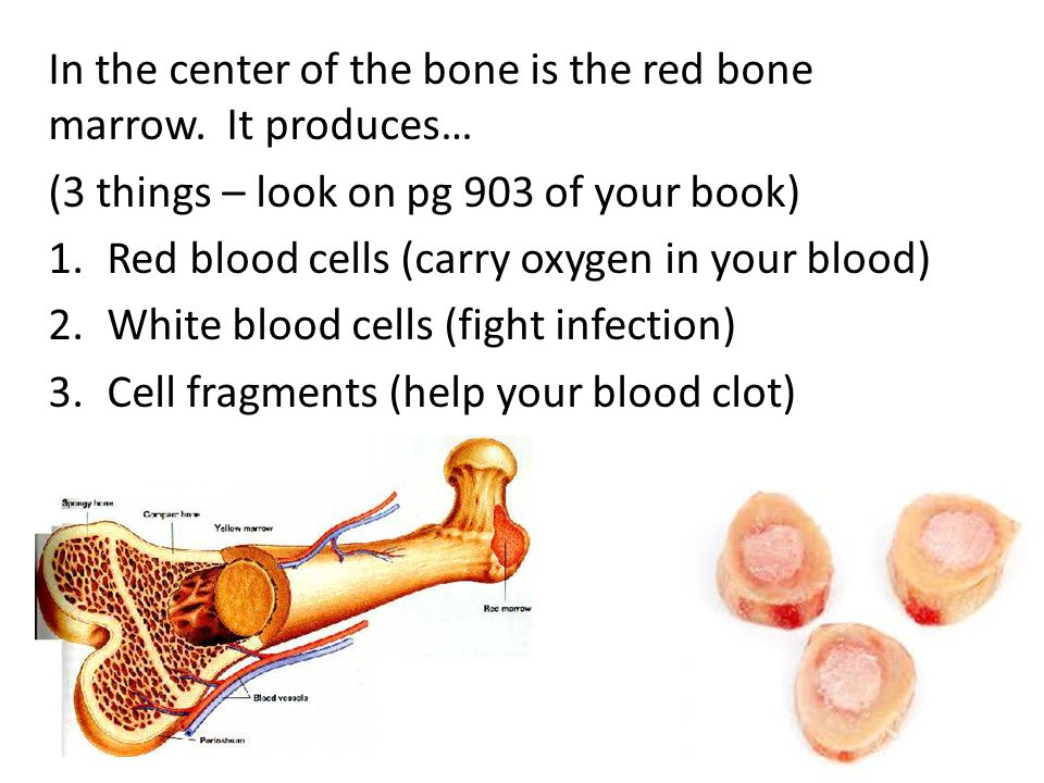 In the center of the bone is the red bone marrow.