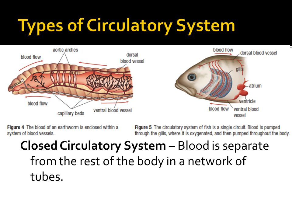 Closed Circulatory System – Blood is separate from the rest of the body in a network of tubes.