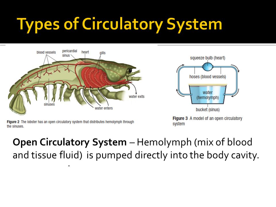 Open Circulatory System – Hemolymph (mix of blood and tissue fluid) is pumped directly into the body cavity.