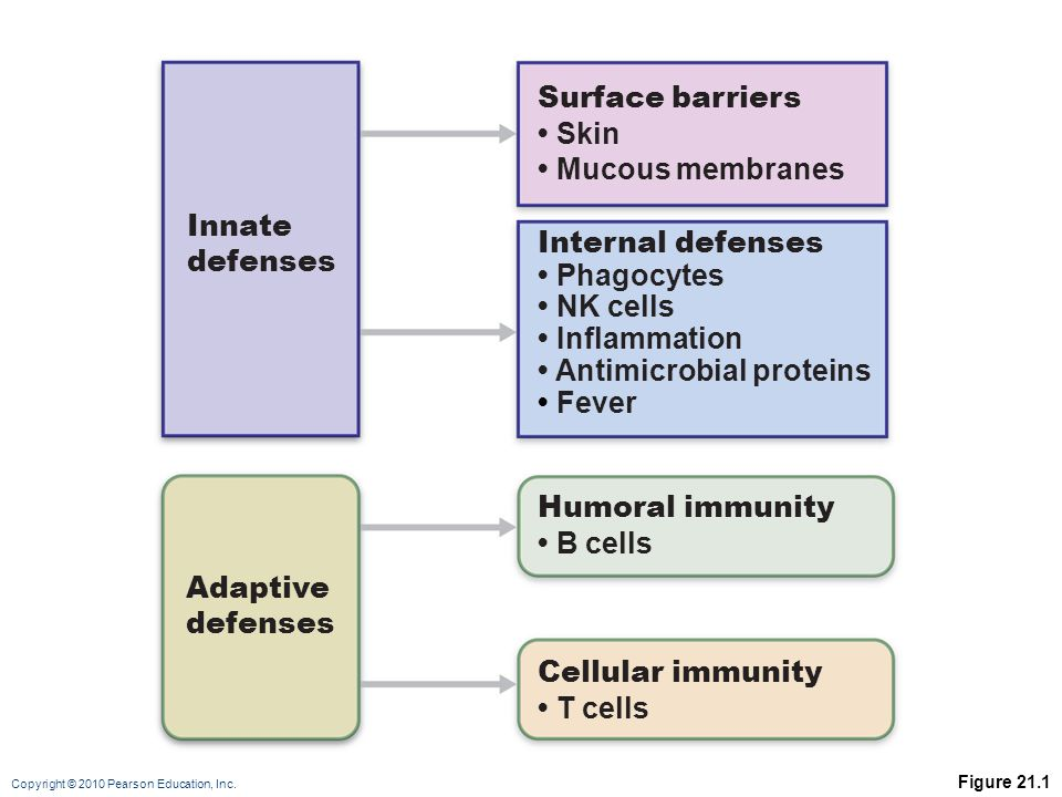 Copyright © 2010 Pearson Education, Inc. Figure 21.1 Innate defenses Surface barriers Skin Mucous membranes Internal defenses Phagocytes NK cells Infl
