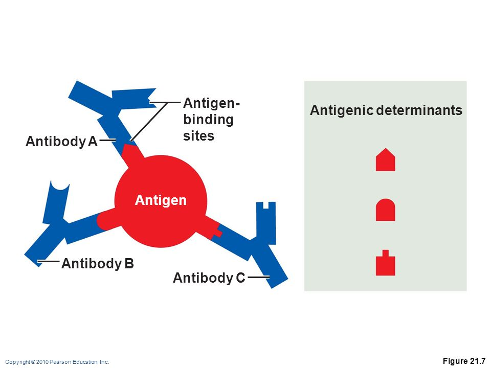 Copyright © 2010 Pearson Education, Inc. Figure 21.7 Antigenic determinants Antigen- binding sites Antibody A Antibody B Antibody C Antigen