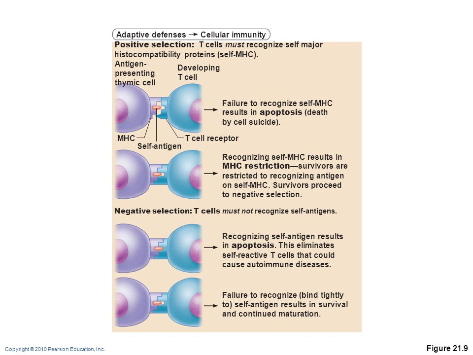 Copyright © 2010 Pearson Education, Inc. Figure 21.9 Adaptive defenses Positive selection: T cells must recognize self major histocompatibility protei