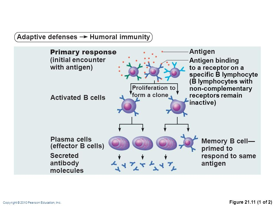 Copyright © 2010 Pearson Education, Inc. Figure 21.11 (1 of 2) Primary response (initial encounter with antigen) Antigen binding to a receptor on a sp