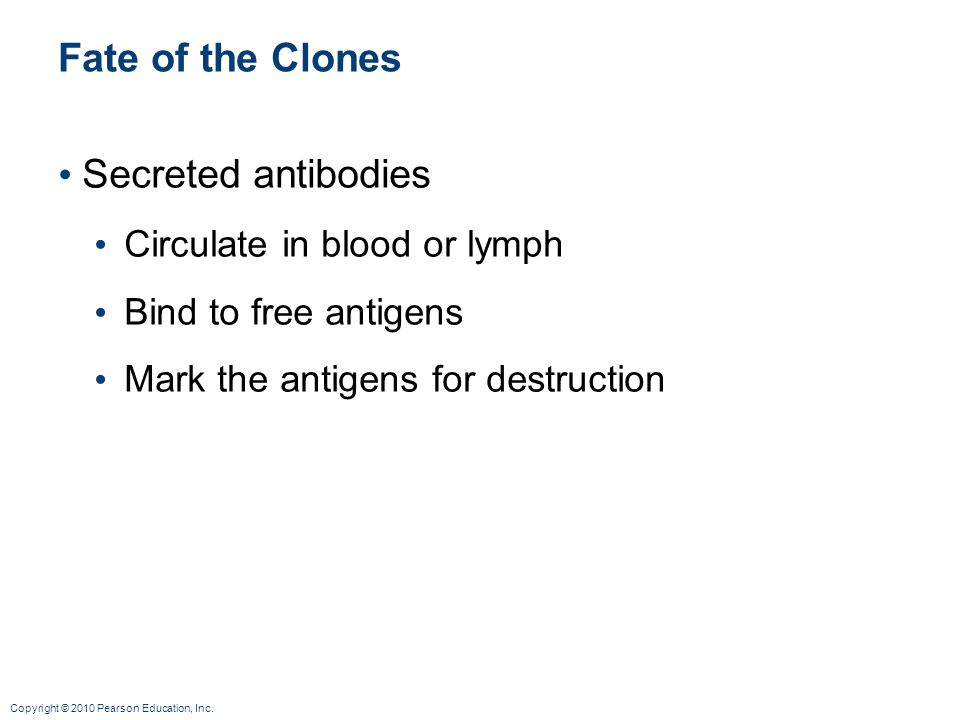 Copyright © 2010 Pearson Education, Inc. Fate of the Clones Secreted antibodies Circulate in blood or lymph Bind to free antigens Mark the antigens fo