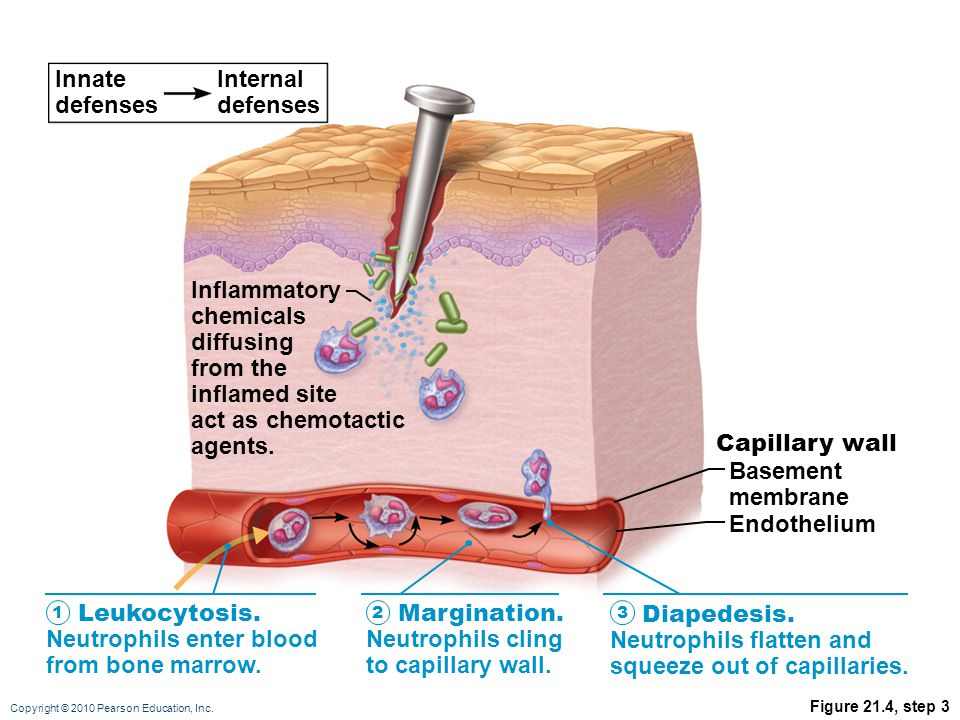 Copyright © 2010 Pearson Education, Inc. Figure 21.4, step 3 Innate defenses Internal defenses Leukocytosis. Neutrophils enter blood from bone marrow.